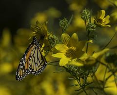 MonarchButterfly_SAF4497-1 (sara97) Tags: danausplexippus butterfly endangered insect missouri monarch monarchbutterfly nature outdoors photobysaraannefinke pollinator saintlouis towergrovepark copyright©2017saraannefinke