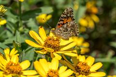 Painted Lady Butterfly - Rutgers Gardens (flying cats (AKA Penny Carlson)) Tags: rutgers gardens newbrunswick nj newjersey flowers paintedlady