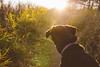 Cortana Sunset - Maplewood State Park (Tony Webster) Tags: cortana hallawayhill hallawayhilloverlook hallawayhilltrail maplewoodstatepark minnesota autumn dog fall fallcolors leaves lensflare statepark sunset trees pelicanrapids unitedstates us