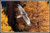 Gypaète mélèze 171018-02-P (paul.vetter) Tags: oiseau ornithologie ornithology faune animal bird gypaètebarbu gypaetusbarbatus bartgeier quebrantahuesos beardedvulture vautour rapace