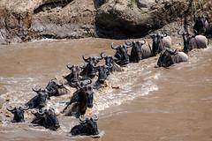 Mara Safari-9072.jpg (MudflapDC) Tags: africa safari herd marariver water vacation mara porinilioncamp plains zebra kenya greatmigration gamewatchers jump maasaimara wildebeast leap dive crossing wilderness masai