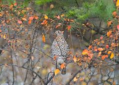 Grouse (nevadoyerupaja) Tags: autumn usa natural berry bush grouse fall serviceberry wildlife tree bird jacksonhole berries chokecherries outdoors cedar camouflage