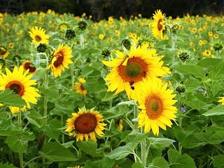 9318ex  forever sunflowers.....