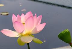 Lotus and seed pod (1 of 1) (vern Ri) Tags: nybg lotus pod seedpod pink green fuji flora flower fleur fiori blumen bloom