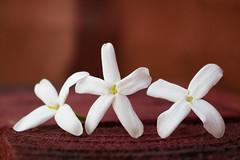 365-297 (Letua) Tags: 365project aroma bello blanco flor flores flowers jazmin mperfume naranja naturaleza nature orange primavera redrojp scent simple spring textura three tres white yasmine