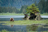 Grizzly Bear in Khutzeymateen Provincial Park, British Columbia (Anne McKinnell) Tags: ursusarctoshorribilis animal bear britishcolumbia brownbear grizzlybear khutzemateen khutzeymateen provincialpark wildlife