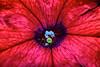 Bullseye (donjuanmon) Tags: donjuanmon nikon nature macro flower stamen stamens petals pollen red cliches clichesaturday hcs