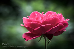 Manoir du Vaumadeuc (Oric1) Tags: 22 canon côtesdarmor france jeanlucmolle manoir oric1 pléven vaumadeuc armorique breizh bretagne brittany eos pink rose flower roseraie