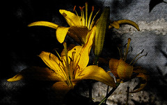 Flores | Flowers | Fleurs | Fiori | Blumen | цветы (António José Rocha) Tags: composição flores penumbra luz cores portugal amarelo mangualdedaserra beleza textura contraste sombra