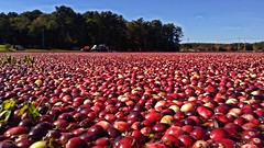 cranland17 (Isaiah62:1) Tags: cranberries harvest sky water trees grass