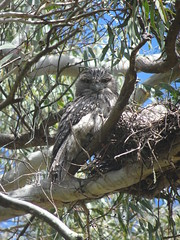 Tawny Frogmouth (RJNumbat) Tags: tawny frogmouth