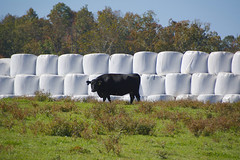 Guardian of the giant marshmallows. (ucumari photography) Tags: ucumariphotography cow animal mammal nc north carolina hay rolls october 2017 dsc9742