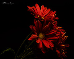 Red Mums 1014 Copyrighted (Tjerger) Tags: nature beautiful beauty black blackbackground bloom blooming blooms bunch closeup fall flora floral flower flowers green group macro mum plant portrait red wisconsin yellow mums natural