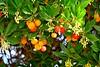 Strawberry Tree, Houghton Beach Park, Kirkland, WA 10/31/17 (LJHankandKaren) Tags: houghtonbeachpark strawberrytree arbutusunedo