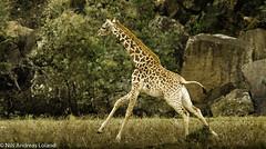 Masai Giraffe (Giraffa camelopardalis tippelskirchi) (nils.loland) Tags: animals giraffacamelopardalistippelskirchi giraffes hellsgatenationalpark kenya masaaigiraffe masaisjiraff nikond7000 safari sigma150500 sjiraffer wildlife