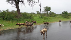 African Wild Dogs (Rckr88) Tags: african wild dogs africanwilddogs wilddogs krugernationalpark southafrica kruger national park south africa mpumalanga nature outdoors travel road roads streets street wilderness wildlife