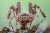 Spider (S W Mahy) Tags: spider insect focusstack garden guernsey guernseymacro wildlife arachnoid 8legs spikes eyes mpe65