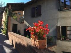 Red flowers, Barolo (goforchris) Tags: italy holidays hf hfholidays walkingholidays barolo
