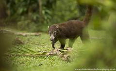 Coatimundi (Alastair Marsh Photography) Tags: coatimundi coati animal animals animalsintheirlandscape mammal mammals wildlife costarica jungle tropical rainforest rain rainfall forest