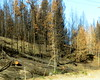 After the wildfire (diffuse) Tags: burned trees charred williamslake wildfire 2017 toast burnt