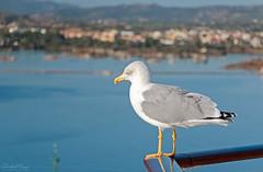 Gabbiani // Seagull (Christian Papagni   Photography) Tags: olbia sardegna italia it gabbiano seagull