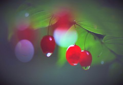 Red fruit (chikaraamano) Tags: mountain summer outdoor nature tent airfeeling perfect comfortable solidgreen medium red conspicuous morningdew wrapped takeshimaran real dear fromthemorning happy melhentic present