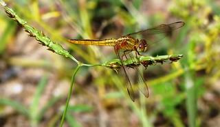 Ruddy Darter - Female.