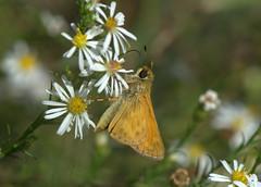 Sachem Skipper (KsCattails) Tags: aster butterfly kscattails sachem skipper ironwoodpark leewood kansas meadow wildflower