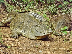 """Crocodile • <a style=""""font-size:0.8em;"""" href=""""http://www.flickr.com/photos/152934089@N02/36904229554/"""" target=""""_blank"""">View on Flickr</a>"""