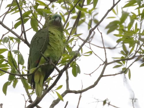 Blue-fronted Parrot_17-09-17_WDC_0503_AM