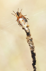 Ettrick Con Pk  Cyclosa (Allan Lance) Tags: cyclosa araneinae murraymallee southaustralia ajl