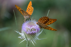thistle dance (alain01789) Tags: butterfly papillon nature velvia insect animal flower fleur dof bokeh macro