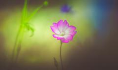Geranium (Dhina A) Tags: sony a7rii ilce7rm2 a7r2 kaleinar mc 100mm f28 kaleinar100mmf28 5n m42 nikonf russian ussr soviet 6blades geranium flower autumn bokeh