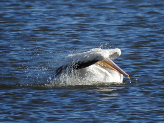 Pelican peek a boo