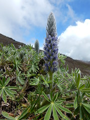 Lupinus alopecuroides (Christophe Maerten) Tags: colombia colombie jungle cauca huila lupinus alopecuroides  purace paramo tierra indiguena native people parque natural parc volcan volcano vulkaan
