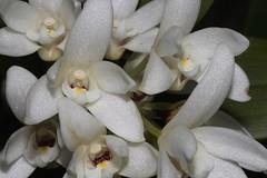 Dendrobium falcorostrum (andreas lambrianides) Tags: dendrobiumfalcorostrum orchidaceae beechorchid thelychitonfalcorostrus australianflora australiannativeplants australianorchids australianrainforests australianrainforestorchids whiteflowers epiphyte dendrobium arfp qldrfp nswrfp coolrainforest arfflowers whitearfflowers