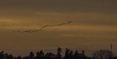 """""""Härliga höst. Min själ är gift med dig och vore jag en fågel skulle jag flyga runt jorden och söka dig om och om igen"""" / George Eliot (My Photolifestyle) Tags: fs171015 fotosondag hostfoto höstfoto flyttfåglar autumn sunset"""