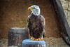 Volerie des Aigles (G. Dominguez) Tags: animals ferien kintzheim tiere