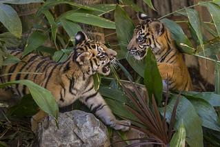 Tiger Twosome Explore Tiger Trail