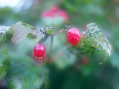 Autumn macro (STEHOUWER AND RECIO) Tags: autumn berries macro nature herfst close up glow dreamy natuur leaves bladeren flora floral netherlands closeup red green light bokeh drop droplet water silver shapes shape dreamscape southholland zuidholland barendrecht holland dutch colours white rood groen wit berry bes bessen soft softness delicate leaf