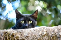 Chat noir (Ath Salem) Tags: algérie algeria argelia nikond5200 northafrica afriquedunord afrique africa الجزائر chat cat kedi gato gatto قط blackcat chatnoir bokeh flou