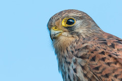 Close (Andrew_Leggett) Tags: kestrel falcotinnunculus birdofprey bird raptor closeup head headshot wild wildlife natural nature rspboldmoor sky blue eye
