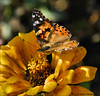 Threads of Gold (John Neziol) Tags: jrneziolphotography nikon nikoncamera nikondslr nikond80 nature naturallight portrait animalphotography animal wildlife wings paintedladybutterfly butterfly beautiful bokeh bright insect outdoor garden flower florafauna forterieontario nectar macro