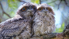 Baby Tawnies, Spring 2017 (Bill Collison) Tags: tawny frogmouth