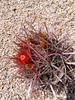 Ferocactus (bunkenburg) Tags: ferocactus