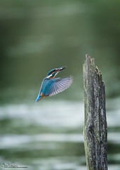 Kingfisher (Steve C Waddingham) Tags: bird british blue countryside nature pool pond post wild wildlife water fish fishing catch