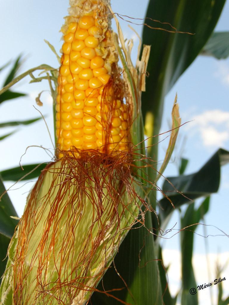 Águas Frias (Chaves) - ... a espiga de milho ...