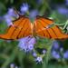 Ruddy Daggerwing (jciv) Tags: file:name=dsc03836 macro butterfly ruddydaggerwing daggerwing