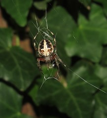 Spotted Orbweaver (Bug Eric) Tags: animals wildlife nature outdoors arachnids arachtober orbweavers orbweaver araneidae araneae arachnida higbeebeachwildlifemanagementarea female capemay newjersey usa spottedorbweaver neosconadomiciliorum northamerica september272017