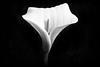 faith, and trust, and pixie dust... (Tony Macrellis) Tags: callalily calla lily flower dark blackandwhite bw detail whatisfaith faith
